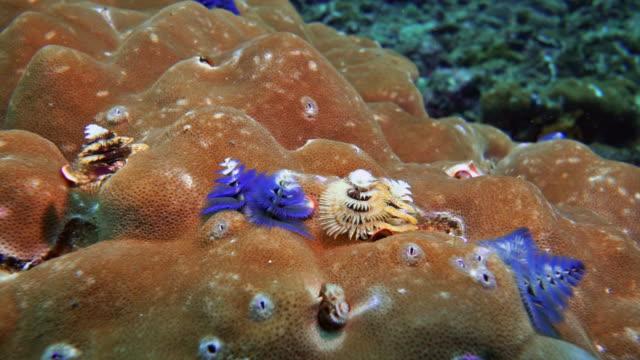 christmas tree worms (spirobranchus giganteus) eröffnung am korallenriff - spiralmuster stock-videos und b-roll-filmmaterial