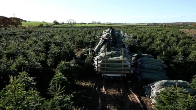christmas trees are harvested at stockeld park yorkshire's largest christmas tree plantation stockeld park grow half a million trees and will harvest... - plantation stock videos & royalty-free footage