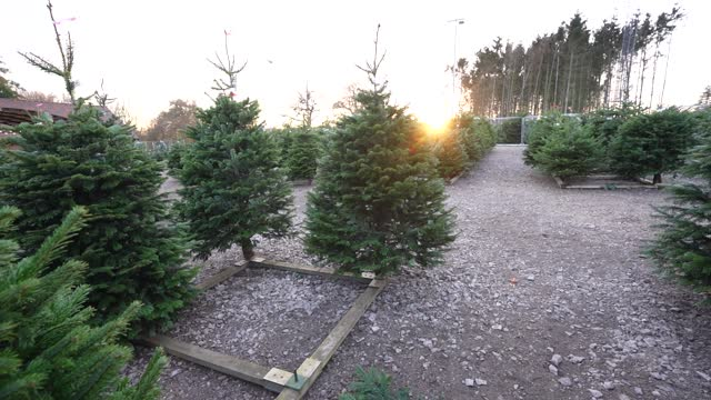 christmas trees are prepared and ready for members of the public to buy at dane end christmas tree farm on november 24, 2020 in london, england.... - christmas tree stock videos & royalty-free footage