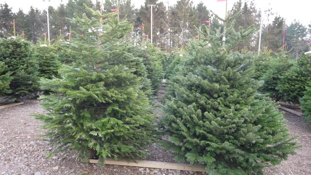 christmas trees are prepared and ready for members of the public to buy at dane end christmas tree farm on november 24, 2020 in london, england.... - slow stock videos & royalty-free footage