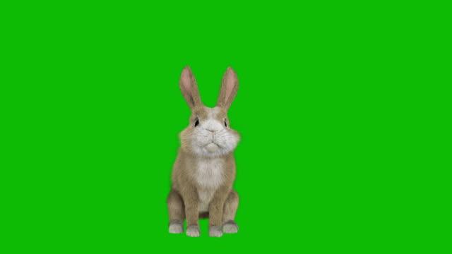 正面図に立つクロマキーの赤ちゃんウサギ - イギリス点の映像素材/bロール