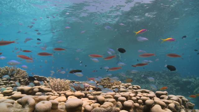 Chromis (Chromis viridis) and Anthias on coral reef, tourist snorkels through frame on surface, Vaavu Atoll, The Maldives