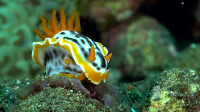 chromodoris magnifica nudibranch, flores indonesia - nudibranch stock videos & royalty-free footage