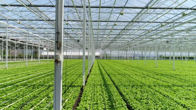chrysantemums in greenhouse - gewächshäuser stock-videos und b-roll-filmmaterial