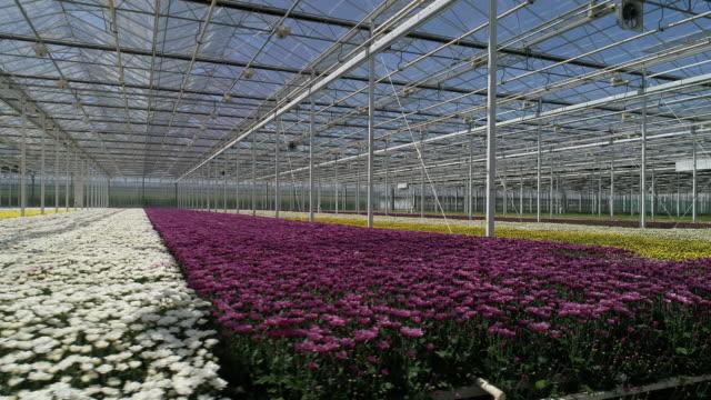 chrysantemums in greenhouse - chrysanthemum stock videos & royalty-free footage