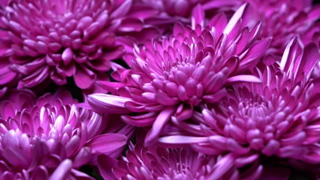 chrysanthemum 4k. - chrysanthemum stock videos & royalty-free footage