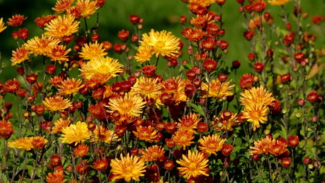 chrysanthemum, autumn flower - chrysanthemum stock videos & royalty-free footage