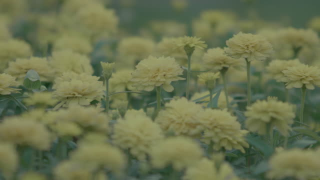 4k: chrysanthemum blossoms. - herbst stock videos & royalty-free footage