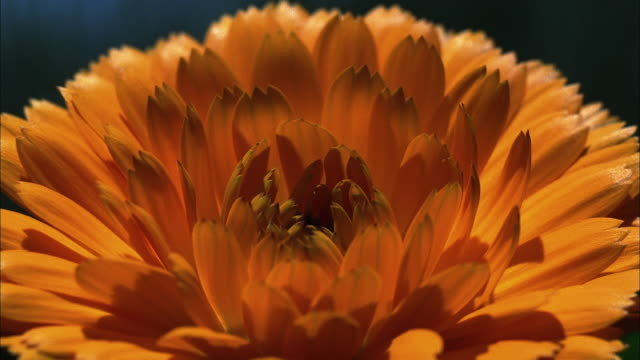 a chrysanthemum expands and blooms. available in hd. - chrysanthemum stock videos & royalty-free footage