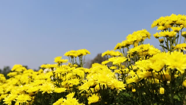 chrysanthemum flower - chrysanthemum stock videos & royalty-free footage