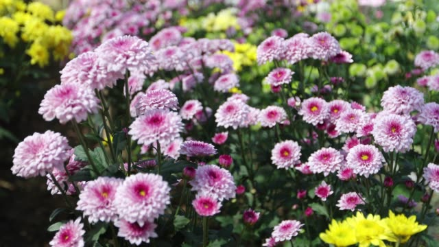 vídeos y material grabado en eventos de stock de crisantemo flor - crisantemo