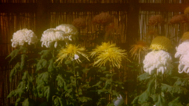 Chrysanthemum Flowers at Sendagi Station on November 01 1964 in Tokyo Japan