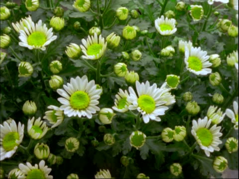 ms t/l chrysanthemum flowers, many yellow buds open to daisy like flowers, white petals with yellow centres - daisy stock videos and b-roll footage