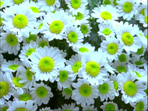 ms t/l chrysanthemum flowers, many yellow buds open to daisy like flowers, white petals with yellow centres - chrysanthemum stock videos & royalty-free footage