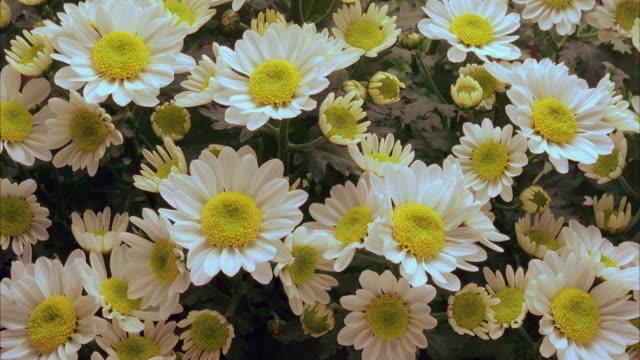 t/l, cu, ha, chrysanthemum flowers opening - chrysanthemum stock videos & royalty-free footage