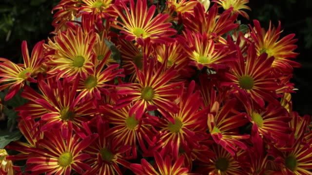 chrysanthemum in bloom - chrysanthemum stock videos & royalty-free footage