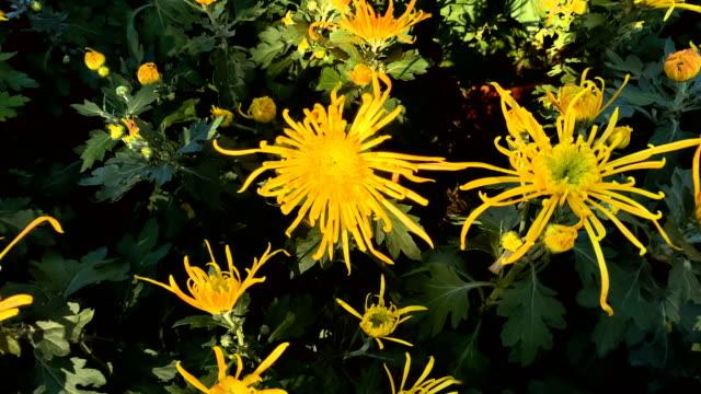vídeos y material grabado en eventos de stock de chrysanthemum - crisantemo