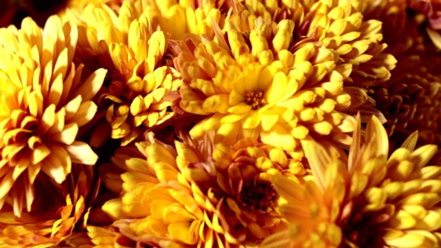 chrysanthemum - flower arrangement stock videos & royalty-free footage