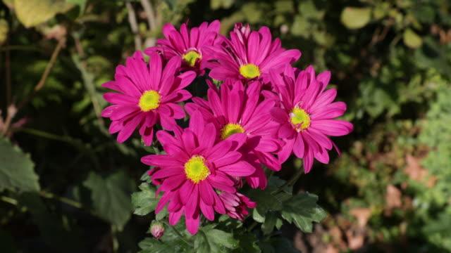 chrysanthemum - chrysanthemum stock videos & royalty-free footage