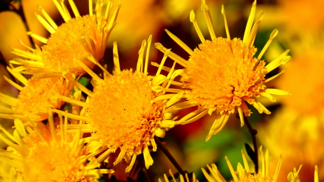 chrysanthemums on a sunny autumn day - chrysanthemum stock videos & royalty-free footage