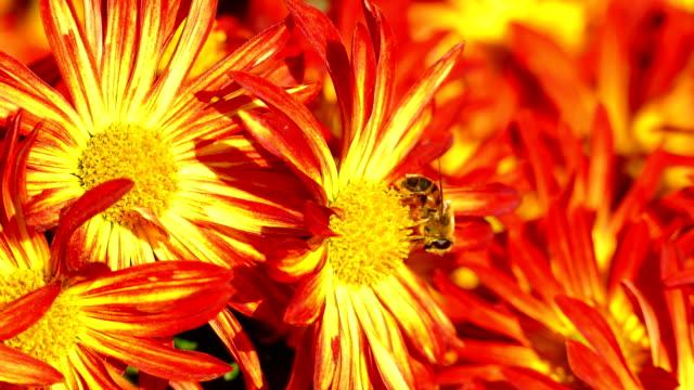 chrysanthemums on a sunny day - chrysanthemum stock videos & royalty-free footage