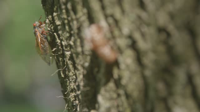 cicada climbs up a tree on may 21, 2021 in baltimore, maryland. the brood x emergence is the largest of all broods with many billions emerging at the... - animal exoskeleton stock videos & royalty-free footage