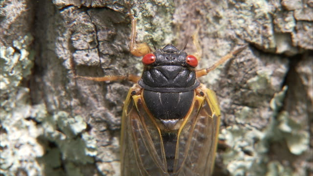 a cicada clings to the gnarly bark of a tree. - gliedmaßen körperteile stock-videos und b-roll-filmmaterial