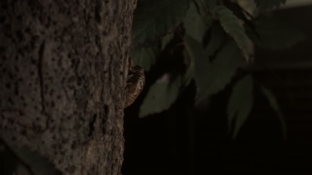 cicada (hyalessa fuscata) crawling on a apricot tree - insect stock videos & royalty-free footage
