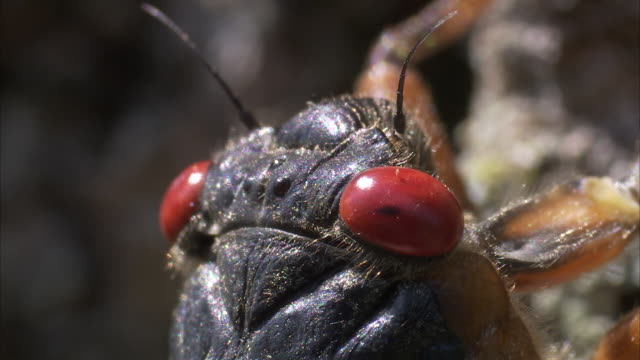 a cicada crawls along a tree trunk. - gliedmaßen körperteile stock-videos und b-roll-filmmaterial