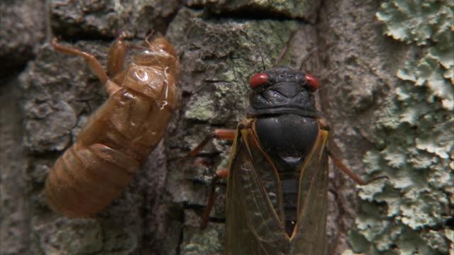 a cicada crawls past the shed skin of another cicada. - gliedmaßen körperteile stock-videos und b-roll-filmmaterial