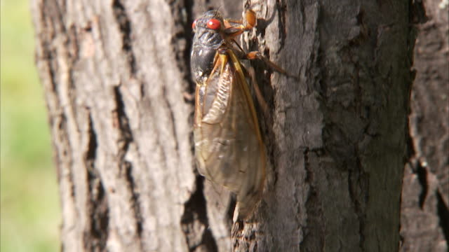 a cicada crawls up a tree trunk. - gliedmaßen körperteile stock-videos und b-roll-filmmaterial