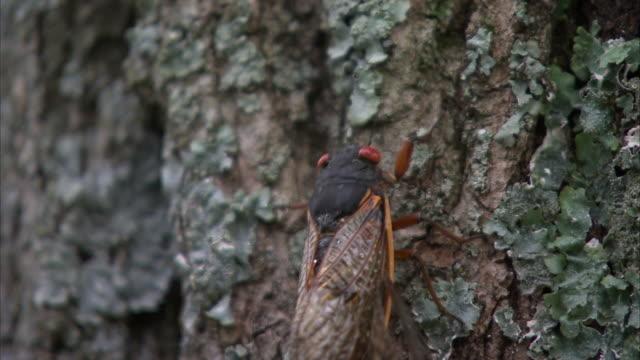 a cicada drags another cicada along the trunk of a tree. - gliedmaßen körperteile stock-videos und b-roll-filmmaterial