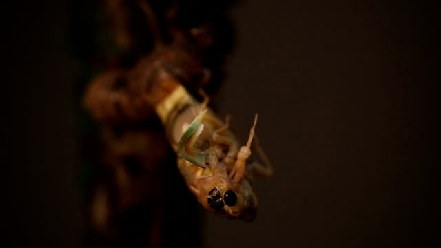 cicada eclosion with golden body just coming out - plant stem stock videos and b-roll footage