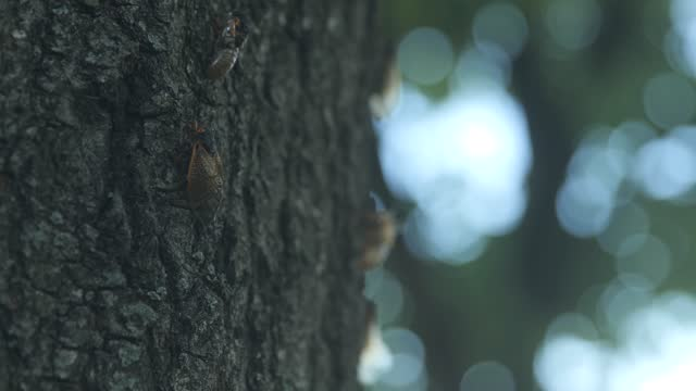 cicada flaps its wings while perched on a tree on may 21, 2021 in baltimore, maryland. the brood x emergence is the largest of all broods with many... - animal exoskeleton stock videos & royalty-free footage