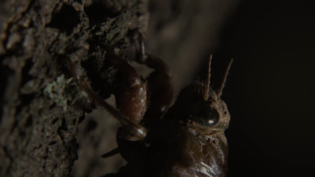 cicada (hyalessa fuscata) hanging on a apricot tree - insect stock videos & royalty-free footage
