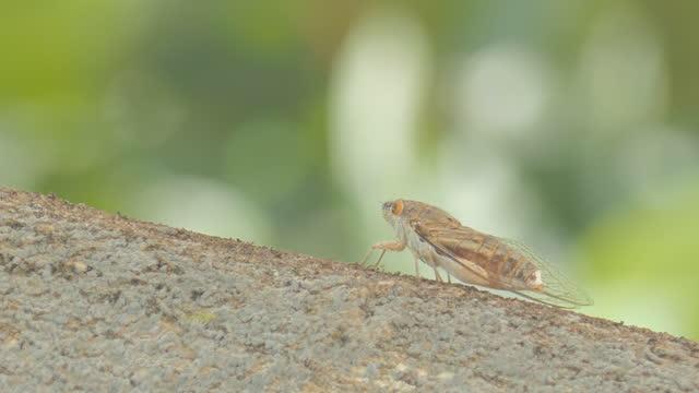stockvideo's en b-roll-footage met cicada beweegt vleugel in het broedseizoen. - vrouwtjesdier