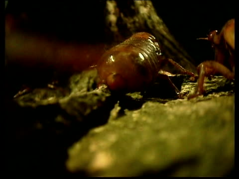 cicada larvae crawl past and up tree trunk - emergence stock videos & royalty-free footage