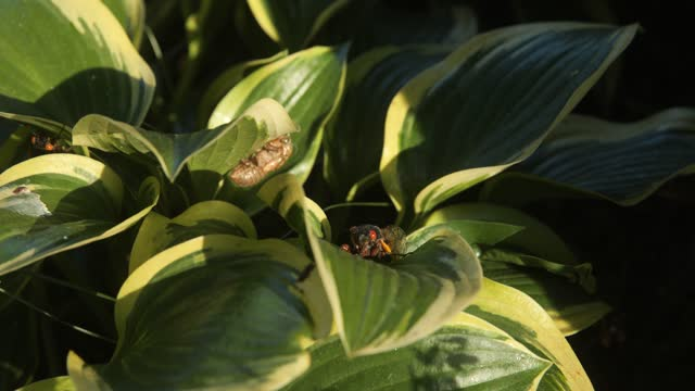cicada moves its legs while sitting on a leaf on may 21, 2021 in baltimore, maryland. the brood x emergence is the largest of all broods with many... - animal exoskeleton stock videos & royalty-free footage