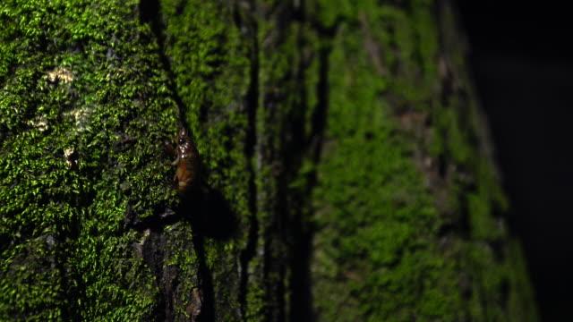 vídeos y material grabado en eventos de stock de cicada nymph climbing a tree - zoología