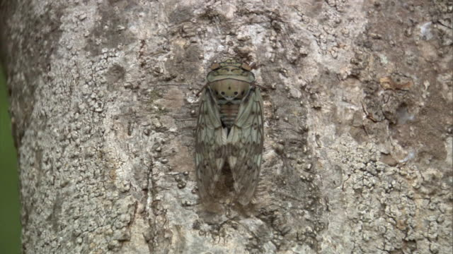 cicada (cicadidae) on tree trunk, madagascar - disguise stock videos & royalty-free footage