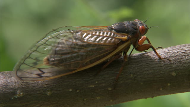 a cicada perches on a tree branch. - limb body part stock videos & royalty-free footage