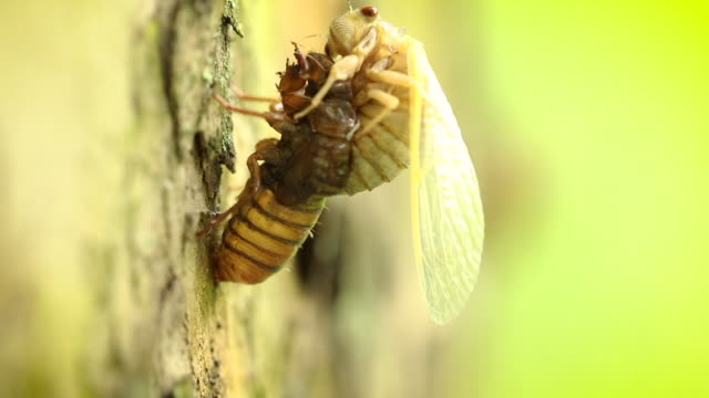 cicada shedding it's skin - shed stock videos & royalty-free footage