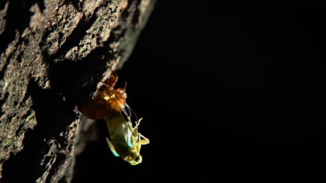 cicada sheds its shell during molting - 動物の脚点の映像素材/bロール