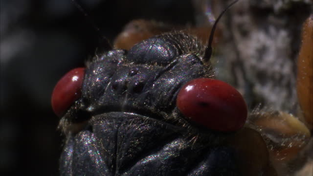 a cicada stares with its red eyes and then crawls along a tree trunk. - gliedmaßen körperteile stock-videos und b-roll-filmmaterial