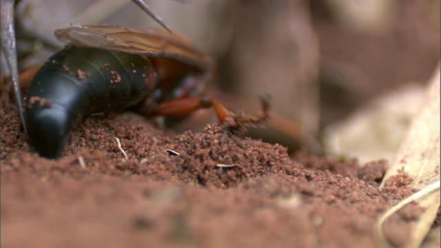 stockvideo's en b-roll-footage met cicada wasp (sphecius) digs nest burrow, madagascar - dierenhol