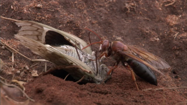 stockvideo's en b-roll-footage met cicada wasp (sphecius) prepares nest burrow for cicada (cicadidae) prey, madagascar - dierenhol