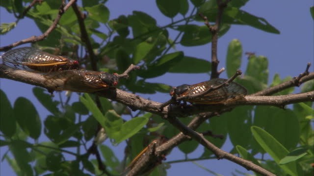 cicadas cling to leafy branches where they will molt. - gliedmaßen körperteile stock-videos und b-roll-filmmaterial