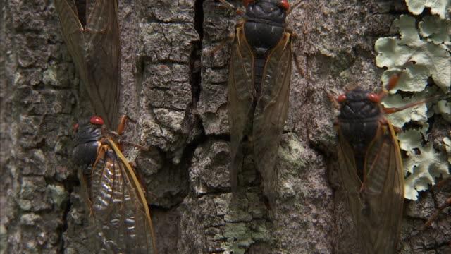 cicadas crawl along a tree trunk. - gliedmaßen körperteile stock-videos und b-roll-filmmaterial