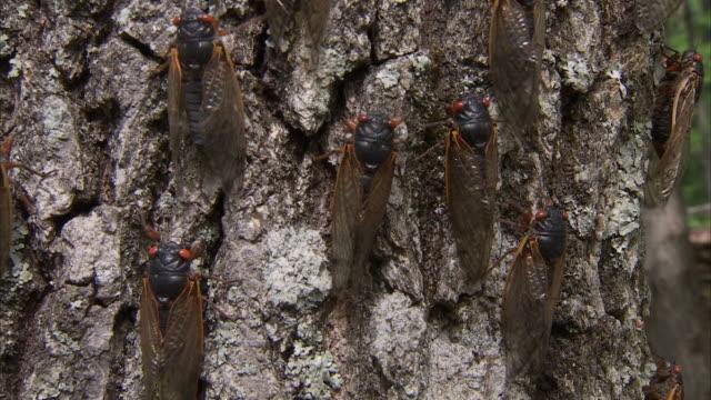 cicadas crawl up a tree trunk. - gliedmaßen körperteile stock-videos und b-roll-filmmaterial