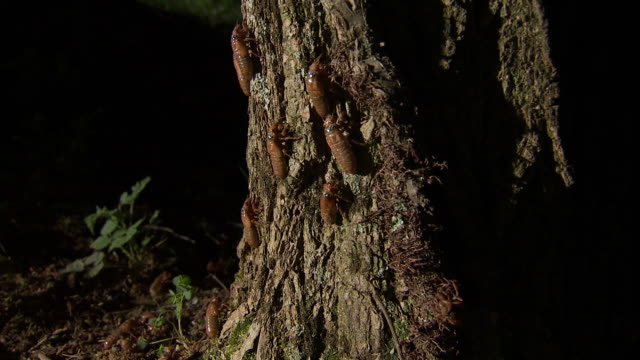 cicadas crawl up a tree trunk. - insect stock videos & royalty-free footage